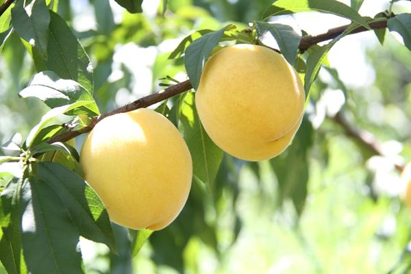 吃货们有口福啦!鸾山黄桃7月28日开园啦!